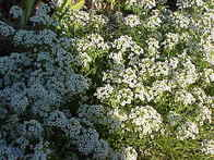 Alyssum 'Carpet Of Snow'