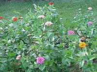 Bed Of Zinnia