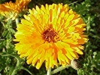 Calendula 'Pacific Beauty'